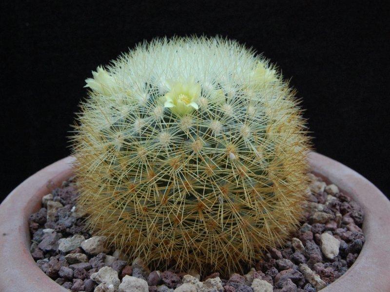 Mammillaria densispina ROG 490