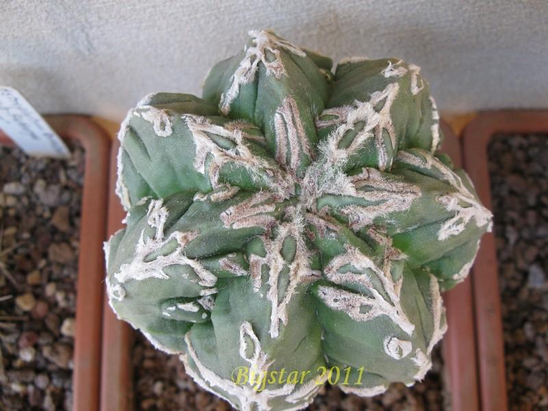 astrophytum myriostigma cv  fukuryu hanya sazanami