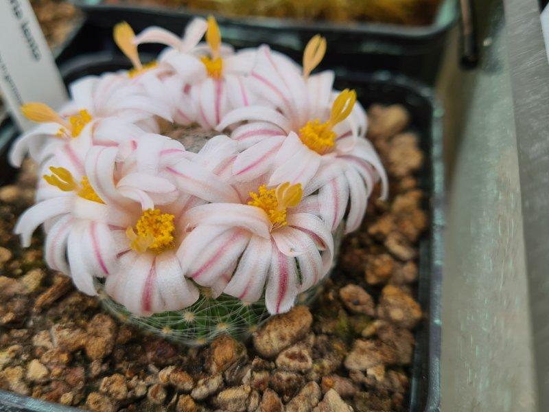 Mammillaria lenta RS 421
