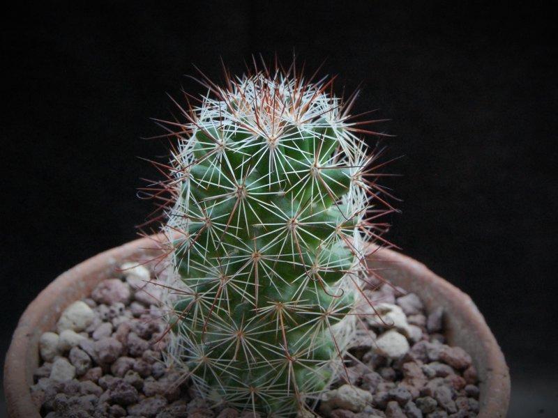 Mammillaria mazatlanensis MS 15-294
