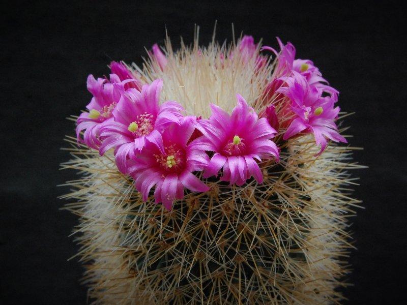 Mammillaria crassior