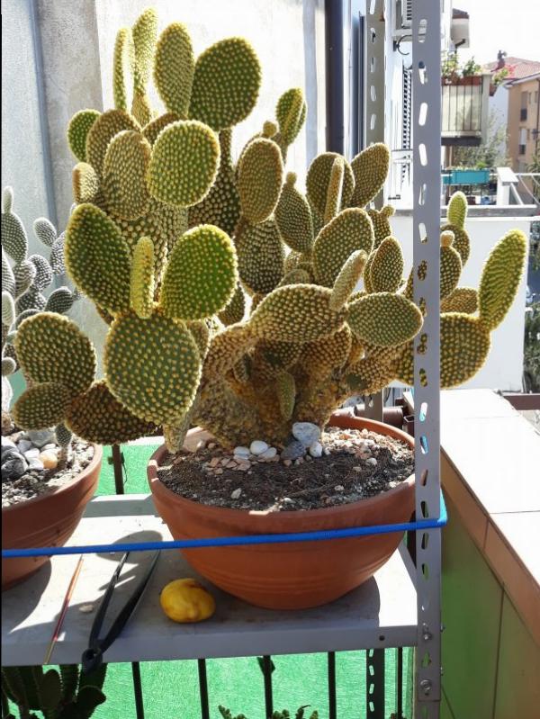 Opuntia microdasys v. pallida