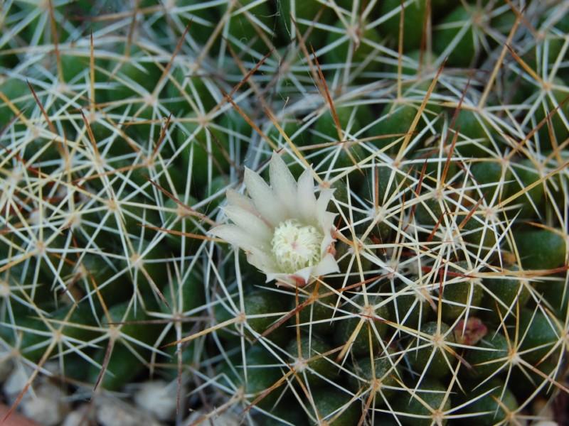 Mammillaria decipiens
