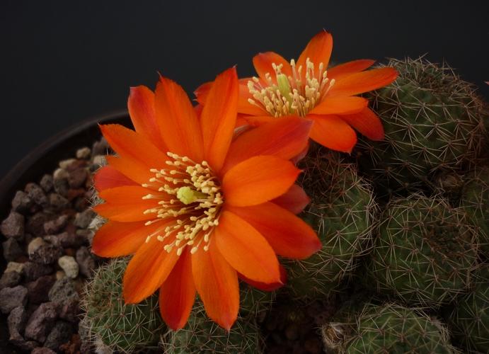 Rebutia tarvitaensis