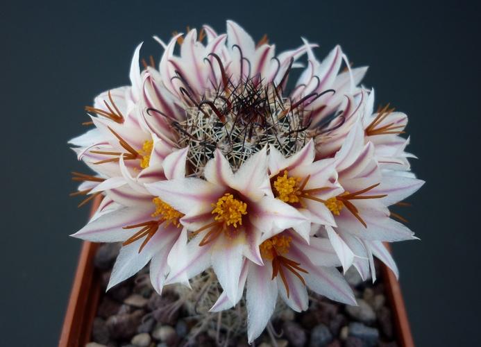 Mammillaria hutchisoniana SB 1205