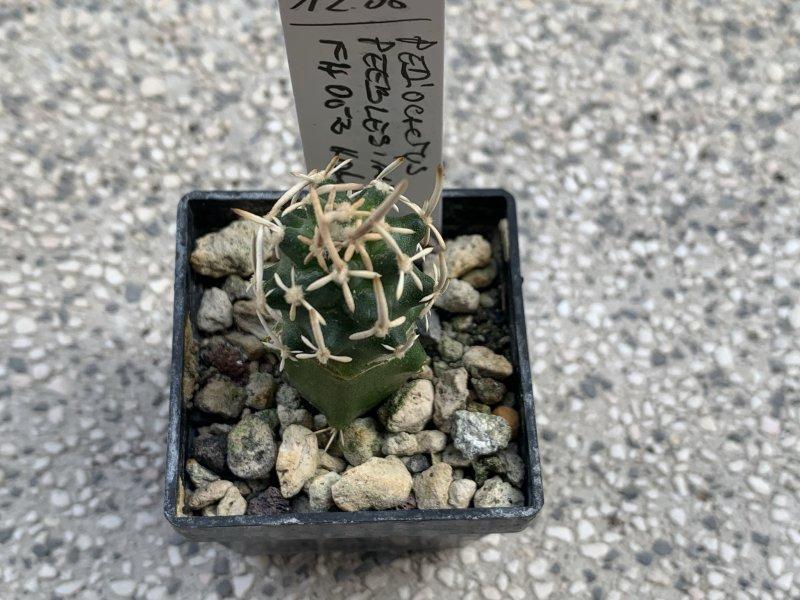 Pediocactus peeblesianus