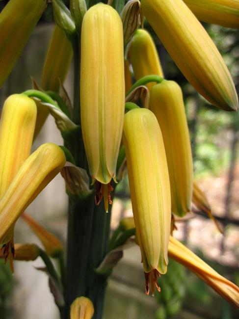 Aloe vera x arborescens