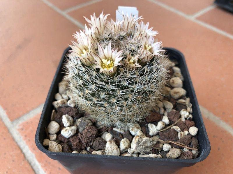 Mammillaria wohlschlageri