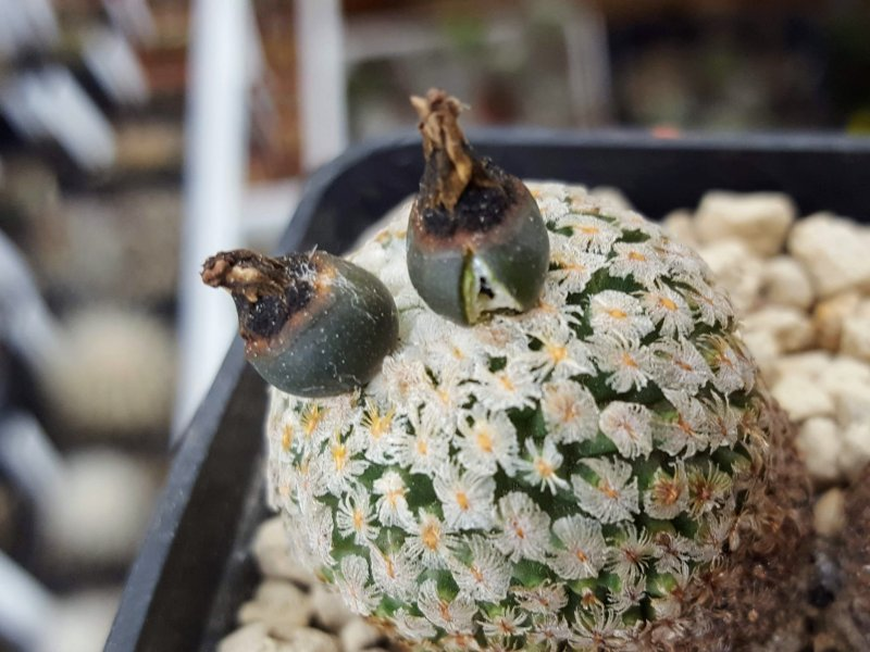Pelecyphora valdeziana