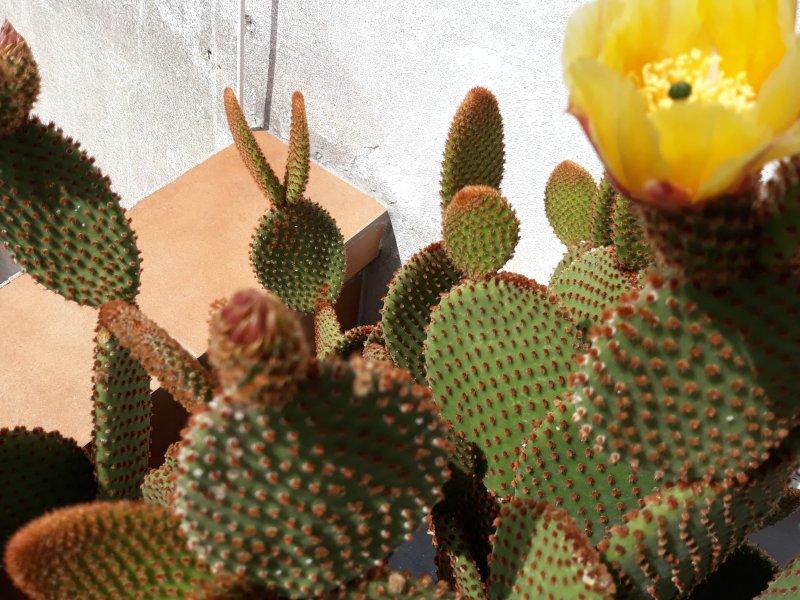 Opuntia microdasys v. rufida