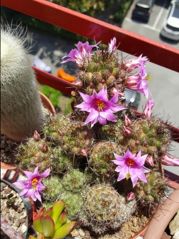 Mammillaria mazatlanensis ssp. patonii
