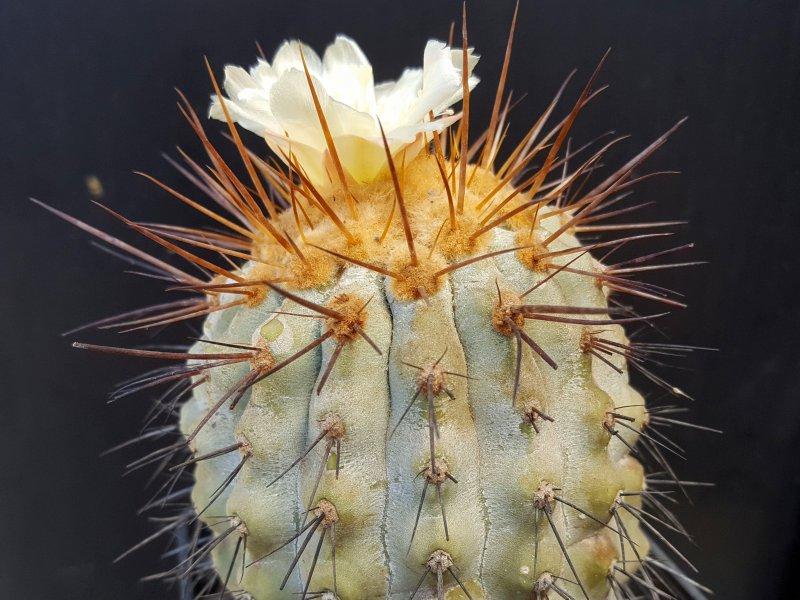 Copiapoa haseltoniana