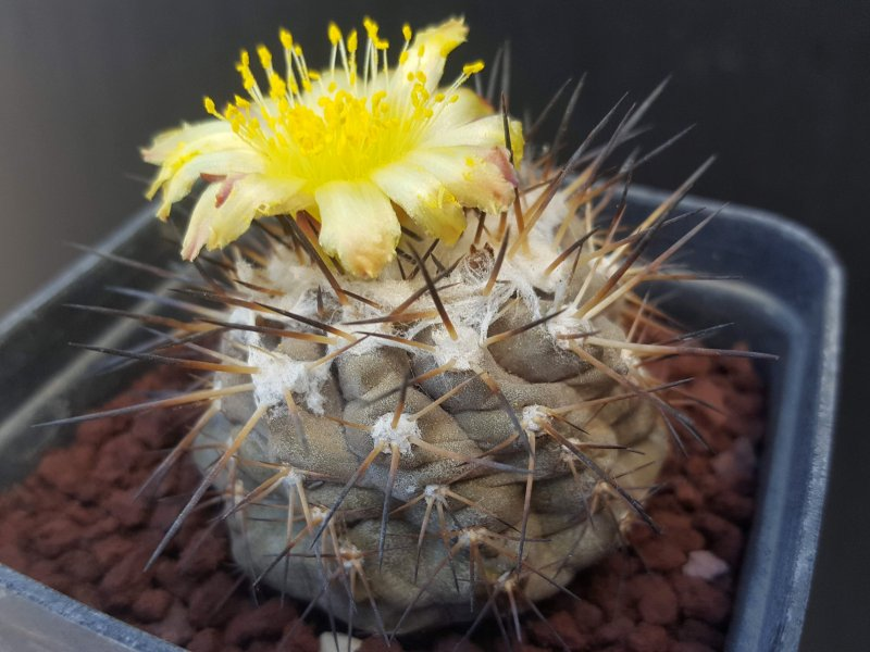 Copiapoa leonensis