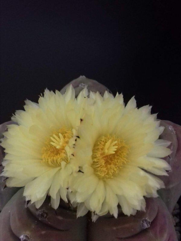 Astrophytum myriostigma f. nudum cv. kikko