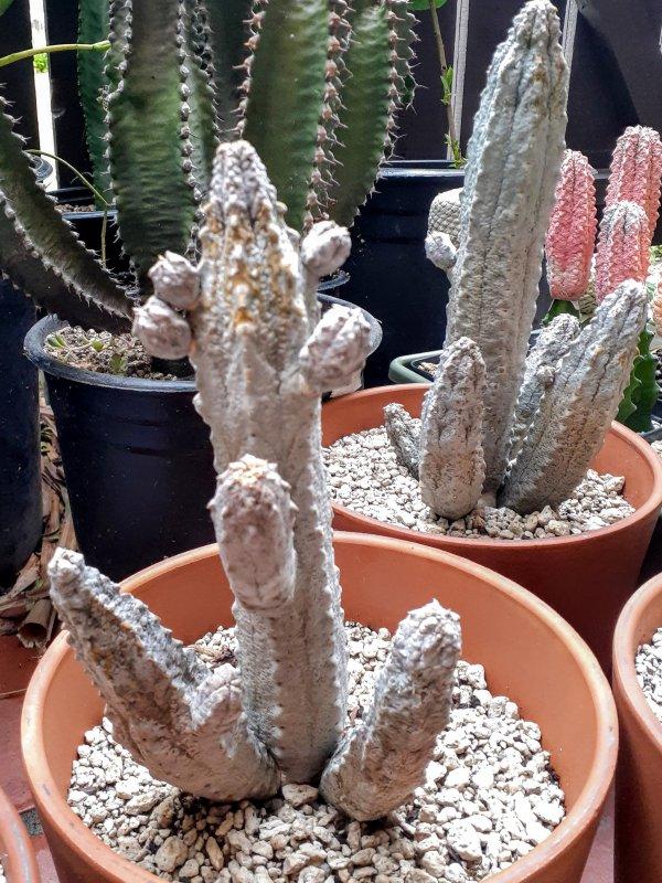 Euphorbia abdelkuri