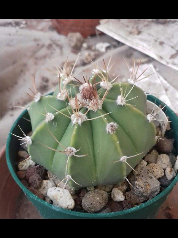 Astrophytum capricorne x asterias
