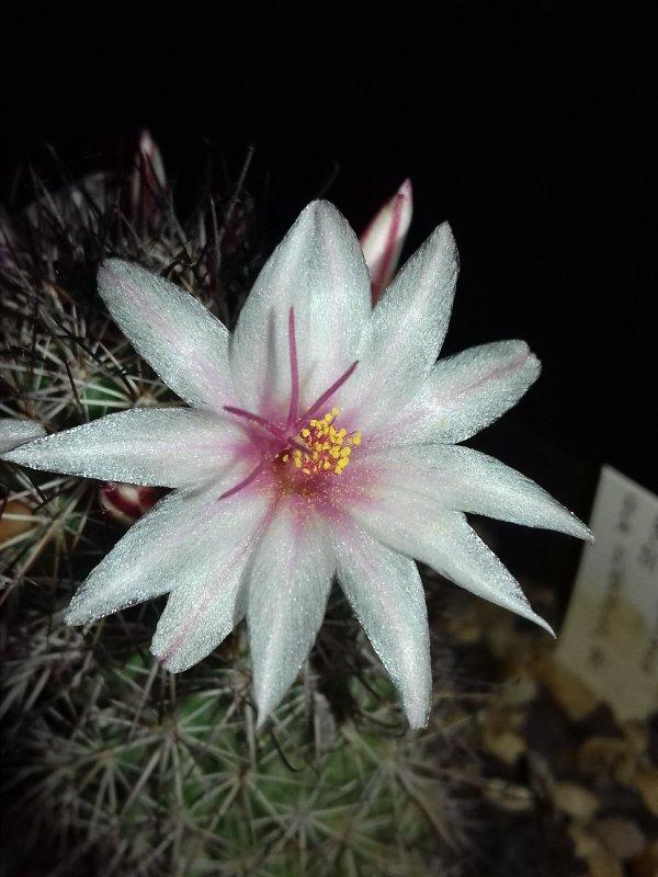 Mammillaria fraileana LAU35