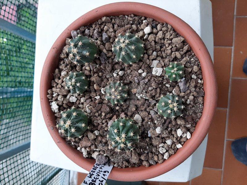 Ferocactus herrerae f. brevispinus