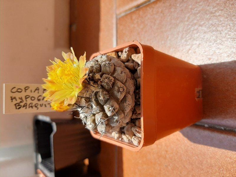 Copiapoa hypogaea v. barquitensis
