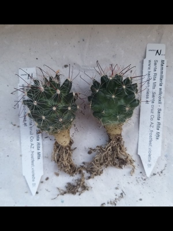 Mammillaria wilcoxii