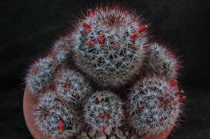 Mammillaria marcosii