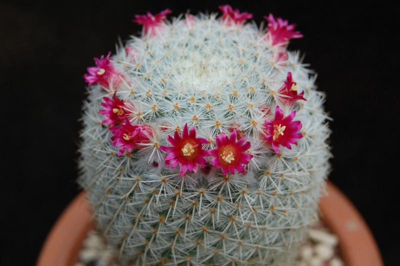 Mammillaria noureddineana