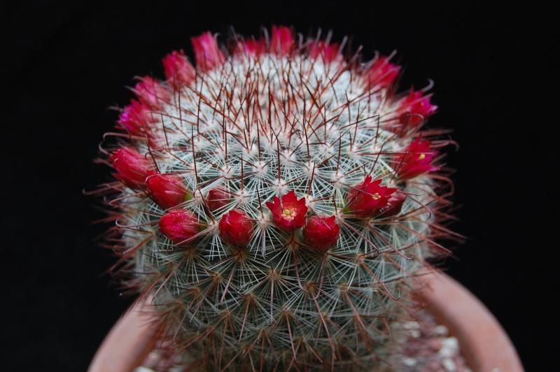 Mammillaria mitlensis P 327