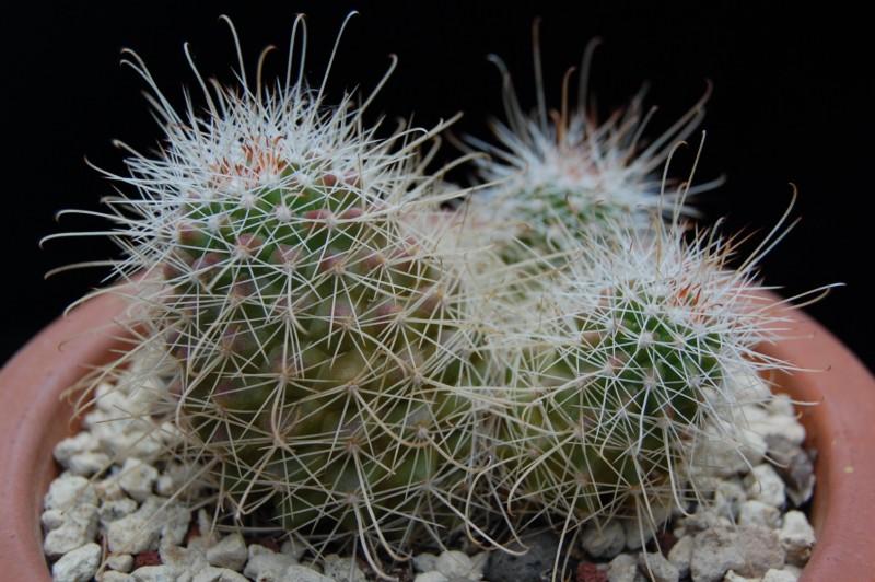 Mammillaria pondii ssp. setispina