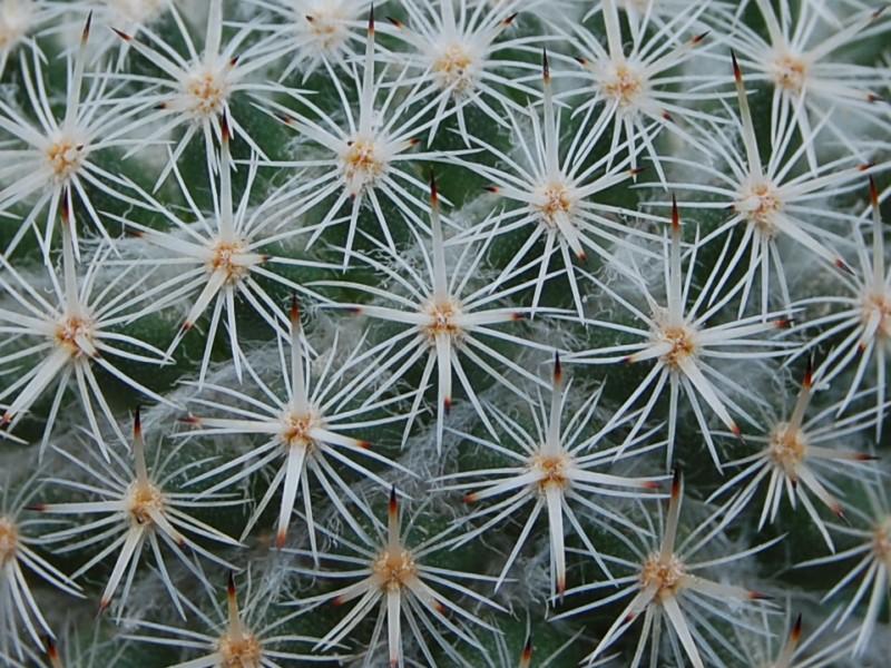 Mammillaria dealbata