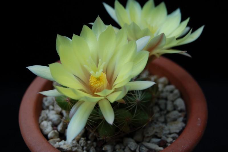 Mammillaria sphaerica