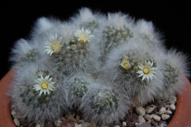 Mammillaria albicoma SB 271