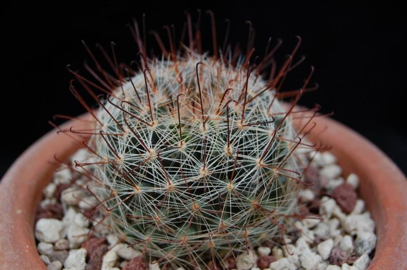 Mammillaria meridiorosei RP 78