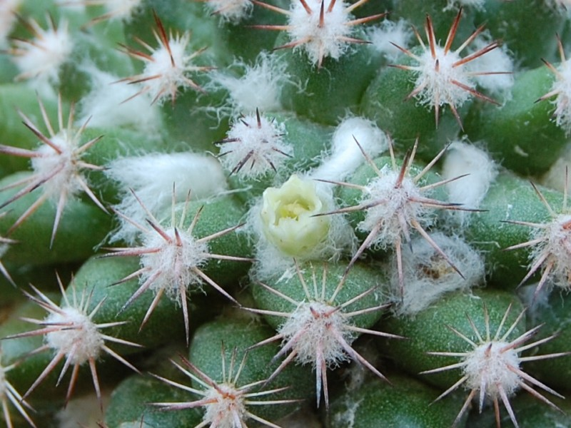 Mammillaria mammillaris