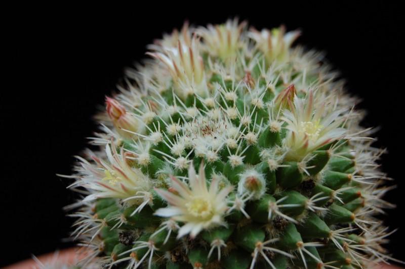 Mammillaria knippeliana