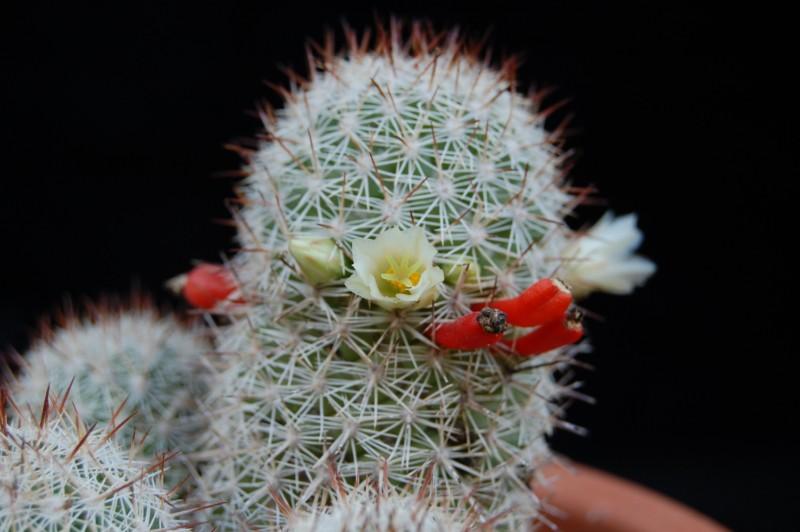 Mammillaria multidigitata