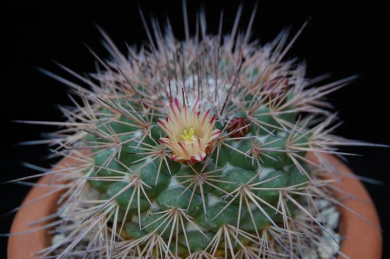 Mammillaria bellisiana LAU 1234