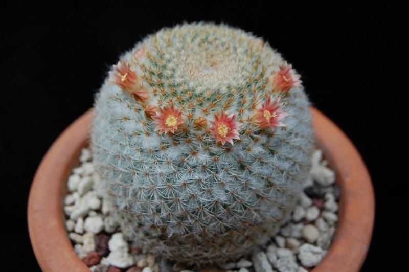 Mammillaria aff. flavicentra P 323
