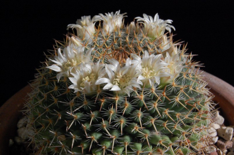 Mammillaria caerulea