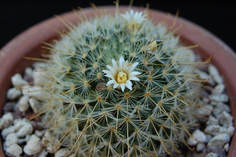 Mammillaria sinistrohamata P 316