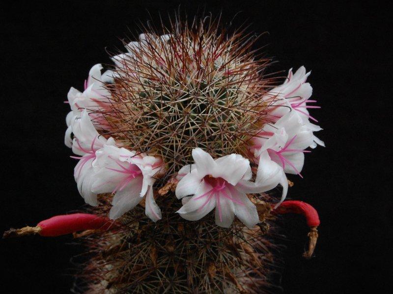Mammillaria fraileana SB 1258