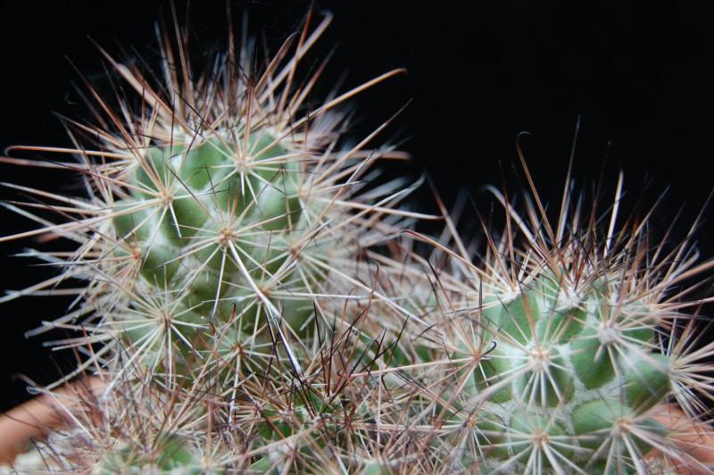 Mammillaria pondii ssp. maritima