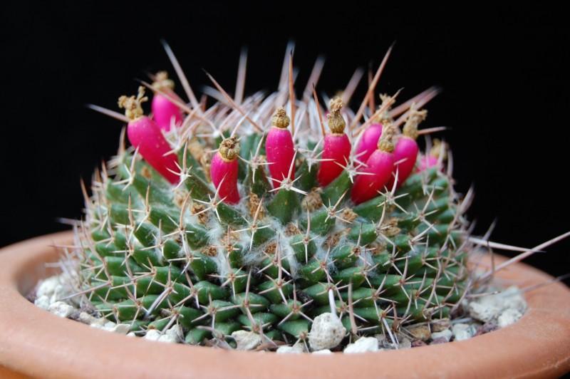 Mammillaria saxicola REP 1139