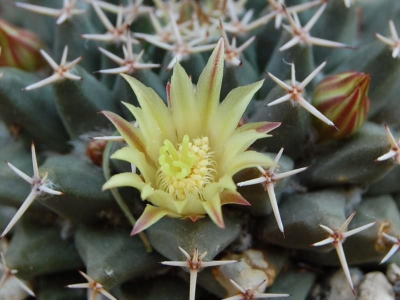 Mammillaria peninsularis SB 104