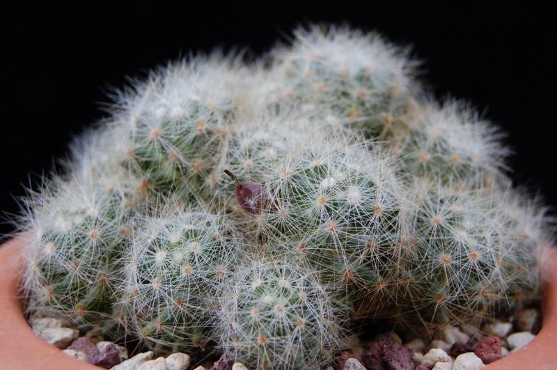 Mammillaria baumii