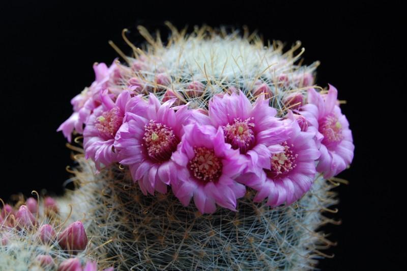 Mammillaria variabilis