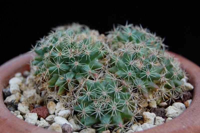 Mammillaria brandegeei ssp. glareosa