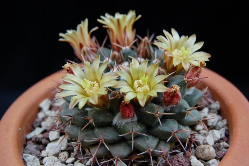 Mammillaria crassimammillis LAU 1069