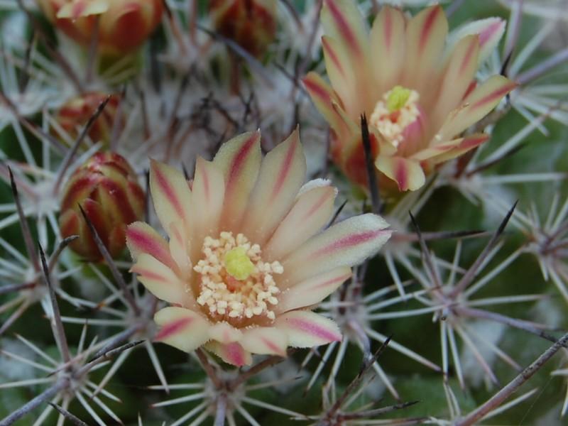 Mammillaria johnstonii v. sancarlensis