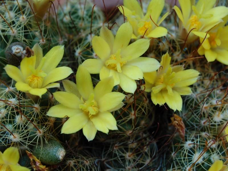 Mammillaria surculosa SB 37