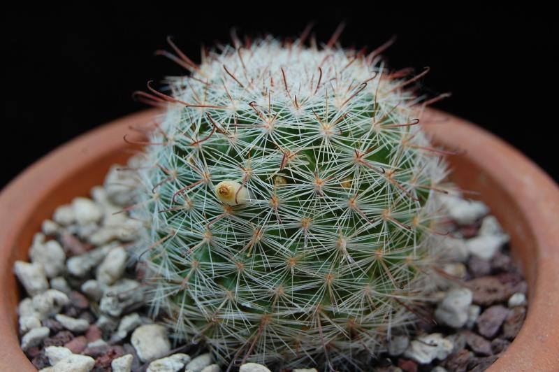 Mammillaria mercadensis REP 1772